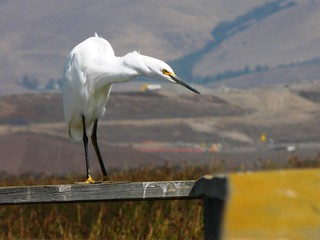 Snowy Egret | by USFWS Pacific Southwest Region