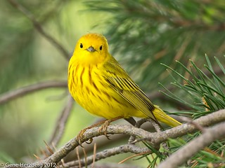 yellow warbler 3 | by Gene Herzberg