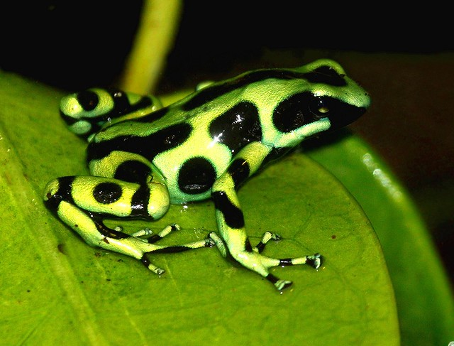 Green and Black Poison Dart Frog. | Flickr - Photo Sharing!
