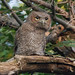 screech-owls-june2012-6