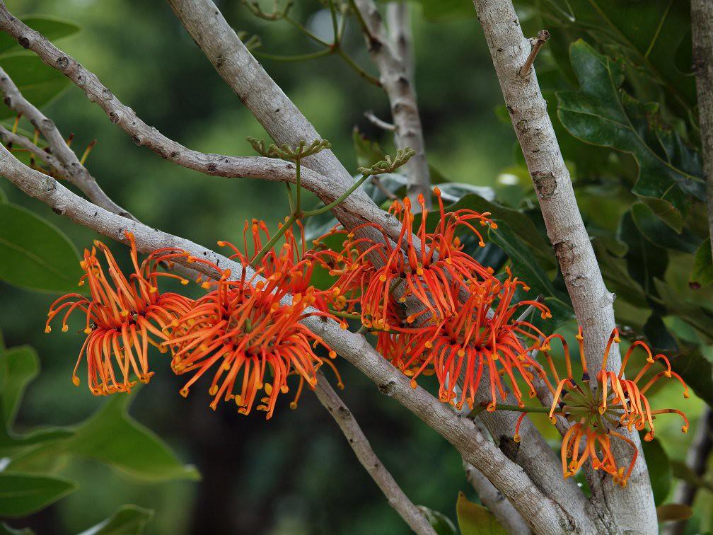 Stenocarpus sinuatus | Stenocarpus sinuatus, Firewheel ...