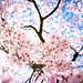 sakura '12 - cherry blossoms #13 (Gion, Kyoto)