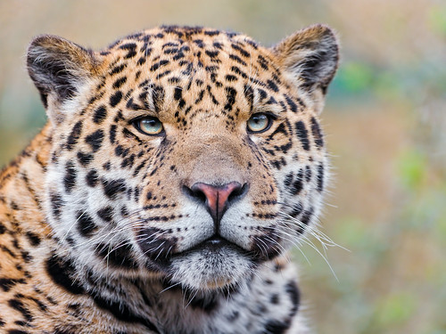 Nice portrait of the young male jaguar | by Tambako the Jaguar
