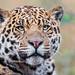 Nice portrait of the young male jaguar