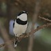 Western Black-headed Batis, Batis minor erlangeri