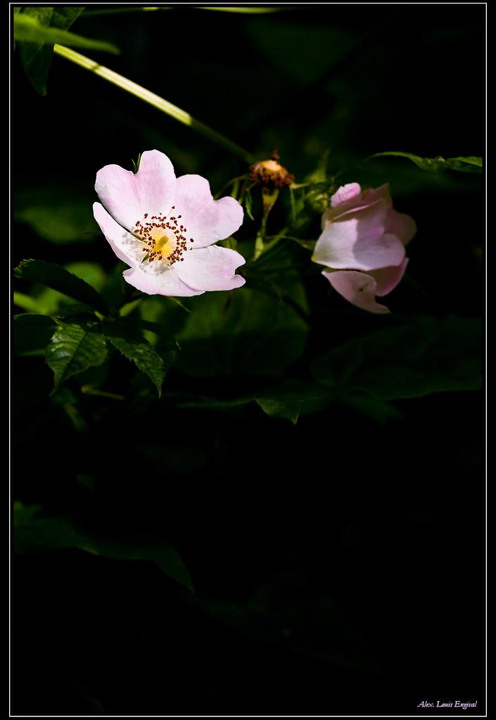 eglantine au soleil probablement une fleur d 39 eglantier t flickr. Black Bedroom Furniture Sets. Home Design Ideas
