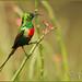 Beautiful Sunbird (Explored)