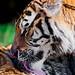 Grooming Siberian tiger