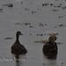 Duck_4130