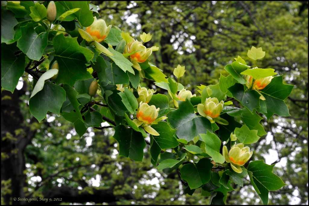 Tulip Tree in Bloom Tulip Tree in Bloom i