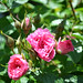 Hybrid Rugosa Rose 'Pink Grootendoorst'