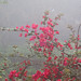 Flower ( bougainvillea )in Fog