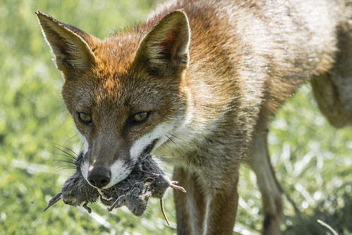 Fox With Prey | by David Gibbon