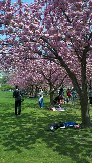 Cherries, and Crowds, peaking @BklynBotanic | by Flatbush Gardener