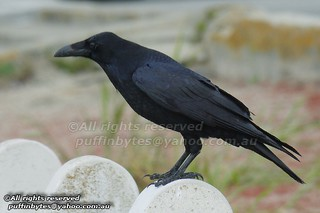 Common Raven - Corvus corax | by puffinbytes