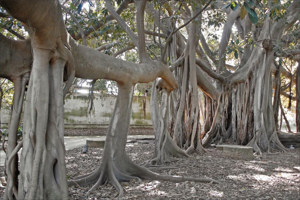 Le jardin botanique de palerme ficus magnolioides arbre for Bal des citrouilles jardin botanique