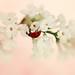 Ladybird on lilac flowers