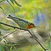 Blackburnian Warbler - Wings In The Willow