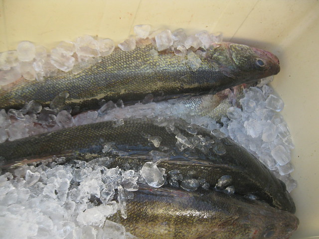 Lake erie walleye and perch fishing flickr photo sharing for Perch fishing lake erie
