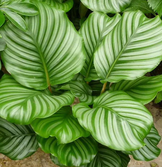 calathea orbifolia flickr photo sharing. Black Bedroom Furniture Sets. Home Design Ideas