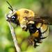 Abelha // Wild Bee (Anthophora quadricolor)