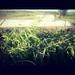 corn-hail