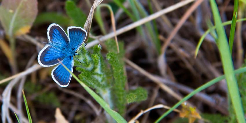 Бабочка ацетозея (Johanssonia acetosea), фото насекомые фотография