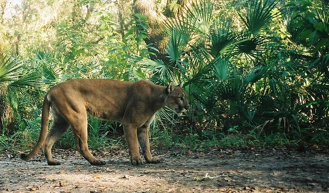 Florida panther endangered florida panther national for Florida fish and wildlife jobs