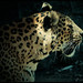 #wildlife Leopard