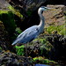 Heron on the Rocks (20120602-122006-PJG)