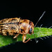 scriptured leaf beetle