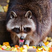 Raccoon eating fruits