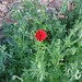 first poppy blooms, with breeze