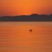 pelicano solo