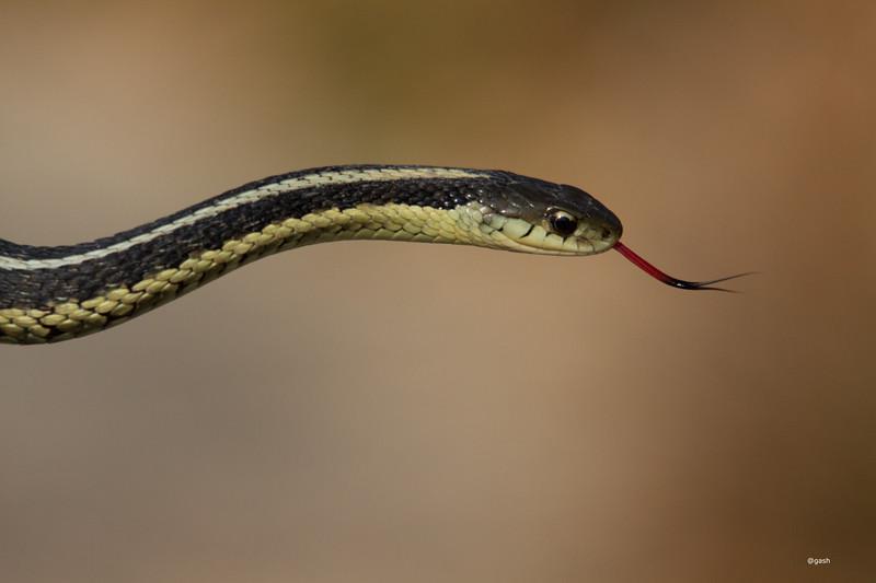 Garter Snake Portrait Colonel Samuel Smith Park Etobicoke ...