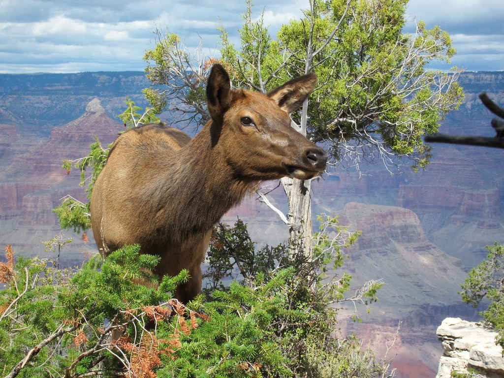 Grand Canyon Village >> Grand Canyon Nat Park: Young Elk Browsing in Fall: 0049 ...