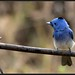 Black Naped Monarch with the Black Nape showing!