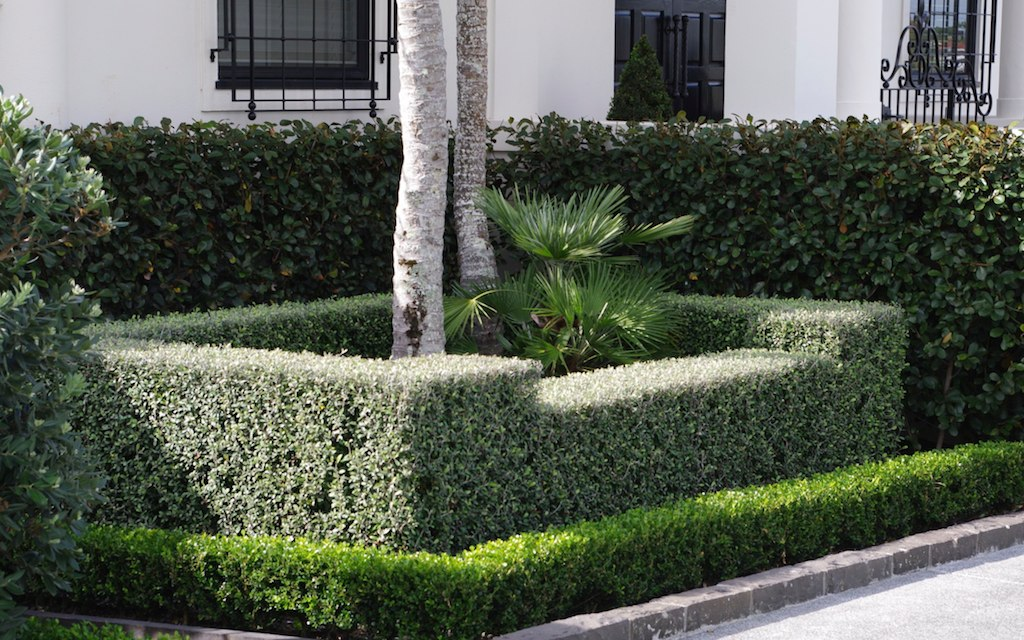 Instant Hedges Of Corokia Frosted Chocolate With Buxus