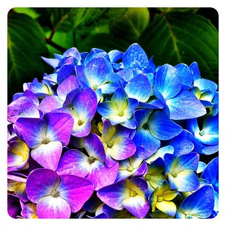 It's #hydrangea season! | by superkimbo