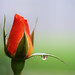 Rose and a Refraction