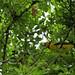 Calandria Amarilla. Yellow Calandria. Icterus Mesomelas,