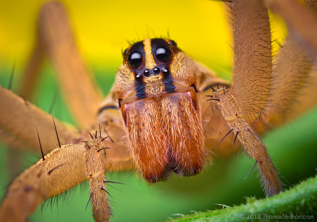 Wolf Spider Pictures Female Rabid Wol...
