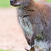 Mother wallaby with joey in the pouch