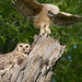 Great Horned Owlet Balancing