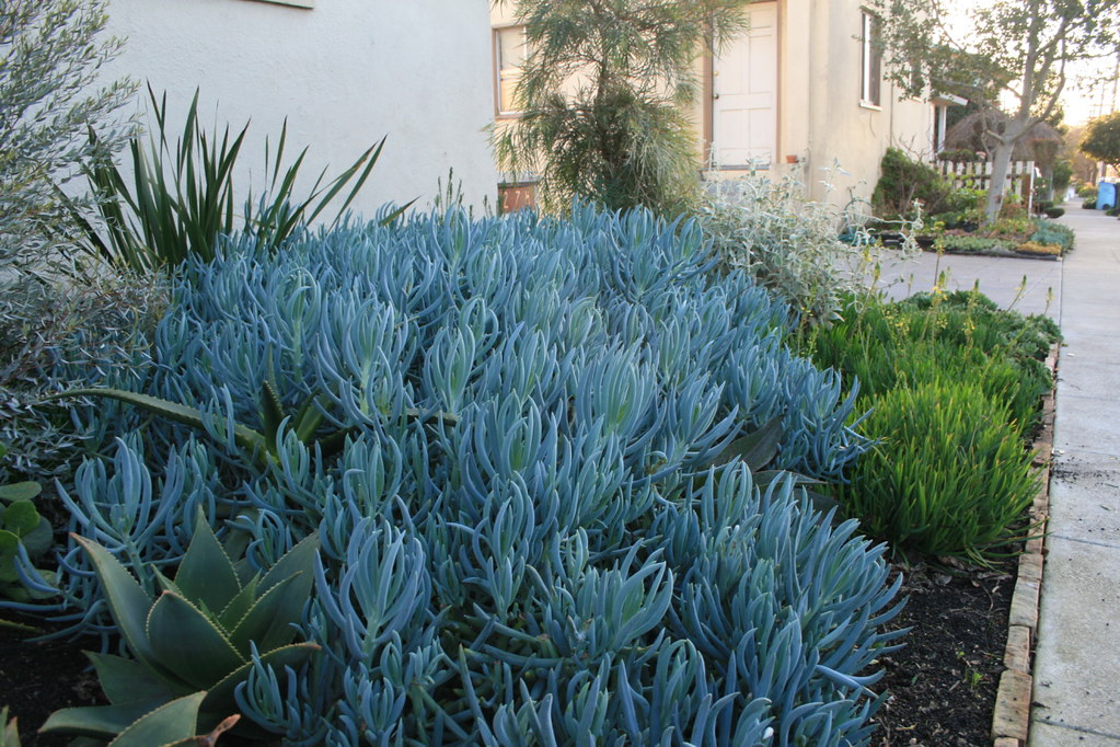 Blue Chalk Sticks succulent as mass ground cover