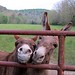 Happy World Donkey Day 6 - Gnat and Gus