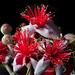 Pinapple Guava Blossoms