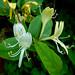 Caprifolio: Lonicera caprifolium L.