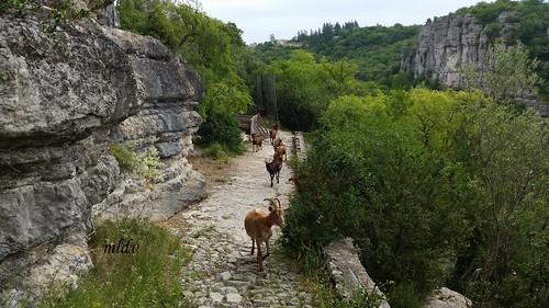 troupeau de chèvres viel audon