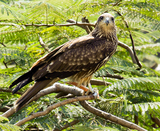 Indian kite bird - photo#18